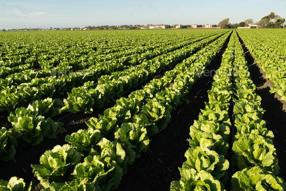 Urban Crop Field Perfect Green Produce Leaf Lettuce - Stock Photo - Images