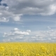 Rapeseed Field Under a Blue Sky with Clouds - VideoHive Item for Sale