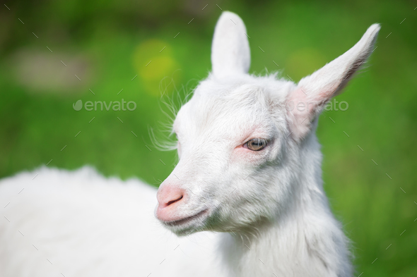 White small goat - Stock Photo - Images