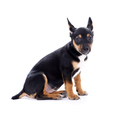 Young black coat puppy dog isolated on white - PhotoDune Item for Sale