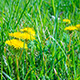 Dandelions Blossom at Dawn - VideoHive Item for Sale