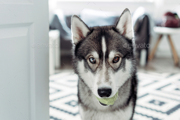 Beautiful husky dog looking at the camera - Stock Photo - Images