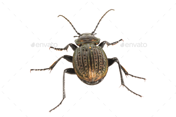 Beetle (Carabus ullrichii) on a white background - Stock Photo - Images
