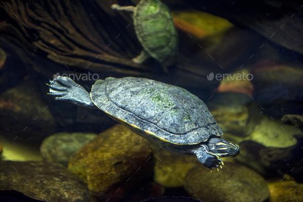 Sea turtle in an aquarium - Stock Photo - Images