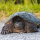 common snapping Turtle - PhotoDune Item for Sale