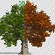 Oak Autumn Tree Animation