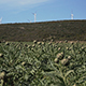 Green Vegetable Field And Wind Power Mills - VideoHive Item for Sale