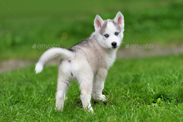 cute little husky puppy stock photobyrdyak | photodune