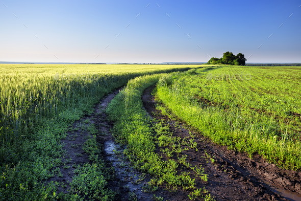 Country road in a field with green wheat ears - Stock Photo - Images