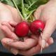 Fresh organic radishes - PhotoDune Item for Sale