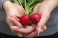 Fresh organic radishes - PhotoDune Item for Sale