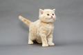 Small British kitten beige