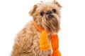 Brussels Griffon orange scarf