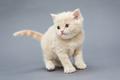 Small British kitten beige colour