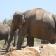 African Elephants Graze in Vicinity of Reserve.