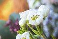 Closeup Blooming White Waxflower Chamelaucium - PhotoDune Item for Sale