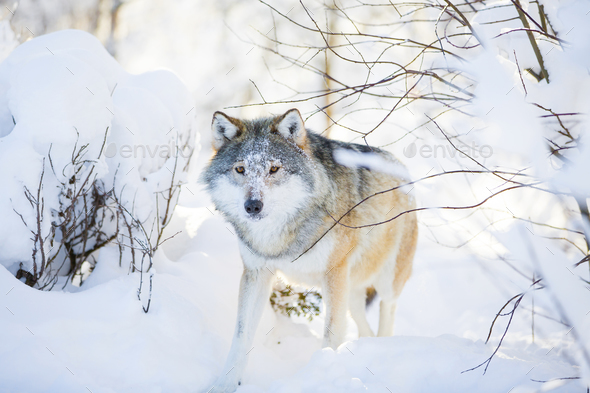 Wolf with wild eyes walking in the snowy winter forest - Stock Photo - Images