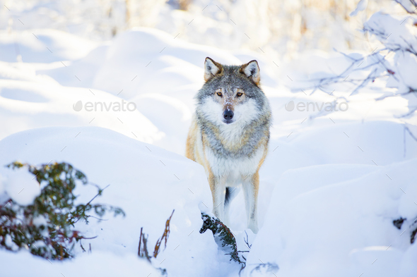 Snowy wolf stands in beautiful winter forest - Stock Photo - Images