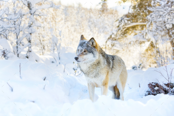 Wolf stands in beautiful and snowy winter landscape - Stock Photo - Images