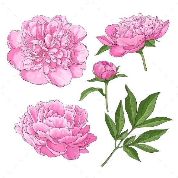 Peony Flowers - Flowers & Plants Nature