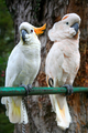 White Parrots in the zoo