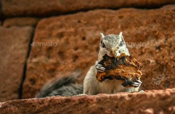 Grey squirrel eating toast - Stock Photo - Images