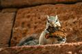 Grey squirrel eating toast