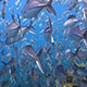 Huge School of Jacks Bigeye Trevallies - VideoHive Item for Sale