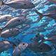 Swim Through Huge School of Jacks - VideoHive Item for Sale
