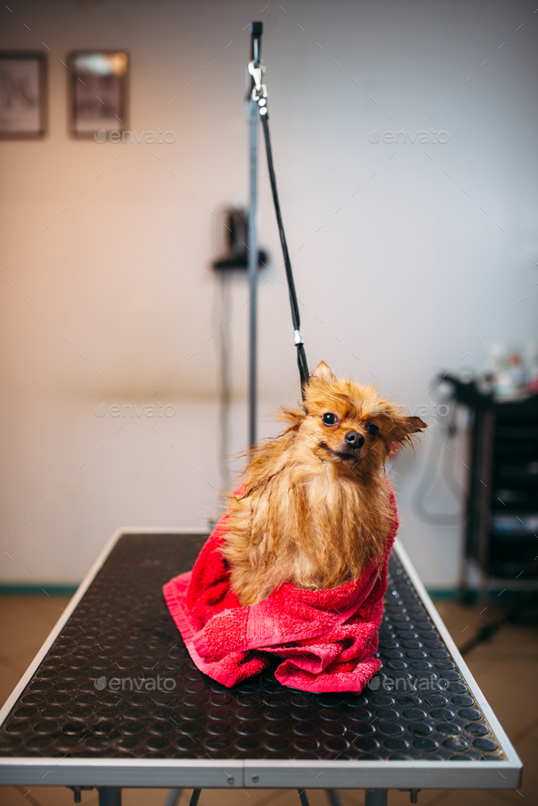 Pet groomer wipes little dog with a towel - Stock Photo - Images
