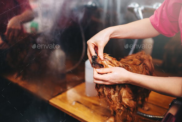 Pet groomer hands, working with little dog - Stock Photo - Images