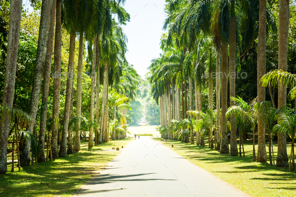Palm alley, beautiful attractions of Sri Lanka - Stock Photo - Images