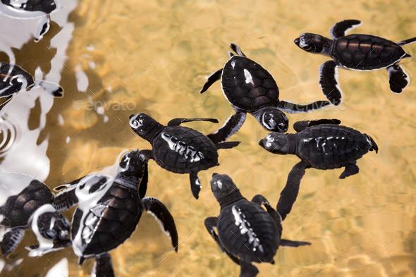 Newborn turtles in water, seaturtles Sri Lanka - Stock Photo - Images