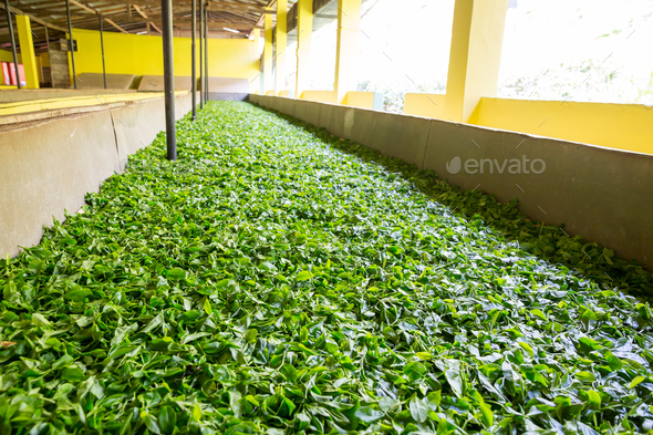 Ceylon tea leaves drying process - Stock Photo - Images