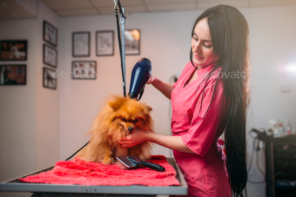 Pet groomer with hair dryer, dog in grooming salon - Stock Photo - Images