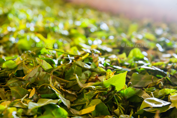Ceylon tea leaves closeup, harvest drying process - Stock Photo - Images