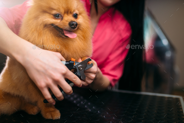 Pet groomer hands cuts with clippers claws of dog - Stock Photo - Images