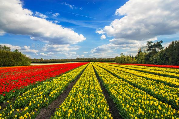 Wonderful tulips by springtime. Keukenhof Gardens. - Stock Photo - Images