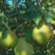 Hands Picking of Ripe Juicy Pears