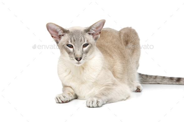 Beautiful oriental siam cat - Stock Photo - Images