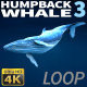 Humpback Whale 3 - VideoHive Item for Sale