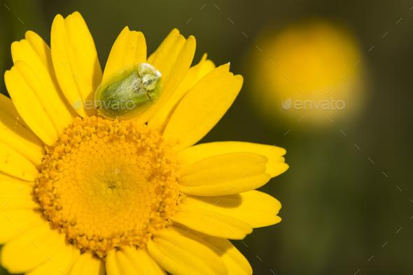 Green tortoise beetle on yellow daisy. - Stock Photo - Images