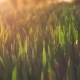 Jung Wheat Stems Moving By the Wind in Warm Spring Evening Sunset Light Flares. Shallow Depth of - VideoHive Item for Sale