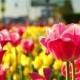 Pink Tulips Swaying in the Wind - VideoHive Item for Sale