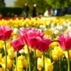 Pink and Yellow Tulips on the City Lawn - VideoHive Item for Sale