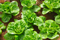 vegetables in the hydroponic farm - PhotoDune Item for Sale