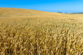 Field of wheat - PhotoDune Item for Sale