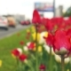Tulips Growing on the Busy Avenue - VideoHive Item for Sale