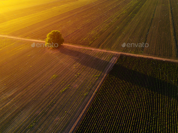 Lonely tree in cultivated field in sunset, drone pov - Stock Photo - Images