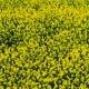 Canola Flower, Oilseed Rape Field
